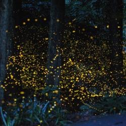 Le lucciole attraggono i turisti a Contursi Terme