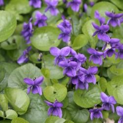 Festa delle violette