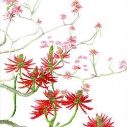 4 Margherita Leoni, Erythrina speciosa, acquerello su carta, 2014.jpg