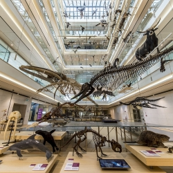Il lupo protagonista di incontri al museo per parlare di fauna